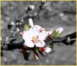 buds-white-flower