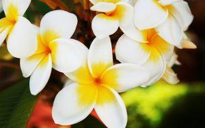 flowers-jasmine