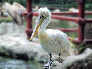 dalmation-pelican-blurred