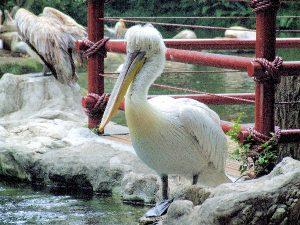 dalmation-pelican-original