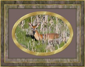 framed-mule-deer
