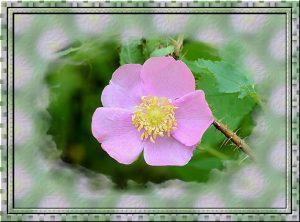 frame-wild-rose