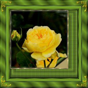 corner-frame-yellow-rose