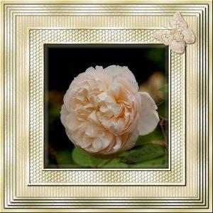 frame-oct-rose