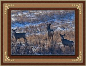 frame-white-tail-deer