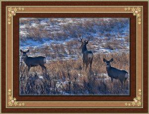 frame-white-tail-deer