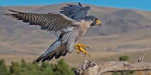 animal-bird-peregrine-falcon