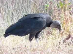 black-vulture-wi-road-kill-2
