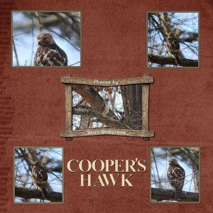 coopers-hawk-600