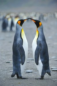 penguins-kissing