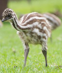 screenshot-2018-3-8-emu-san-diego-zoo-animals-plants