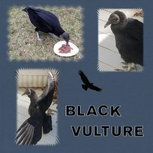 black-vultures-600