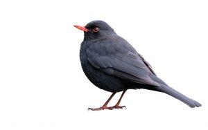 blackbird-2781554_1280