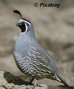 quail-387048_1280
