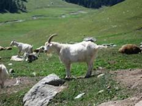 screenshot-2018-4-19-xinjiang-goat-photo-images-yahoo-image-search-results