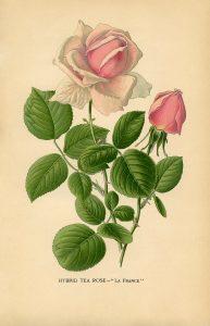 vintage-flower-floral-printable-hybrid-tea-rose-graphics-fairy-sm3-2