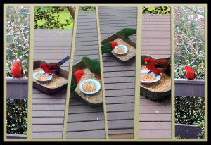 kinglake-birds