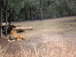 lion-dubbo-zoo