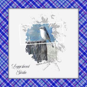 day-2-loggerhead-shrike