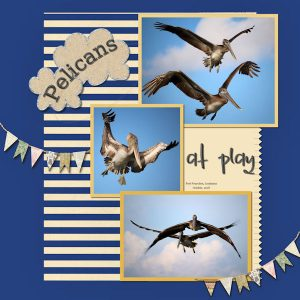 pelicans-at-play-2-resized