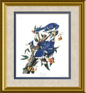 audubon-blue-jay