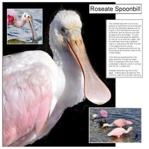 cass-magazinea-001-roseate-spoonbill-text-1000x1000