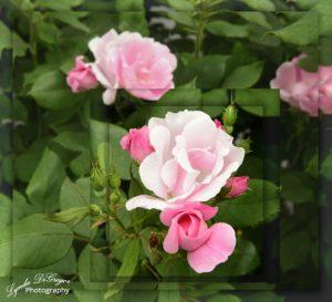 pink-rose-reduced