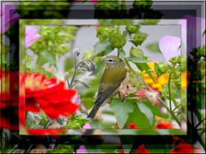 tennessee-warbler-jpga