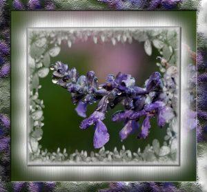 purple-sage-cc-pspimagea