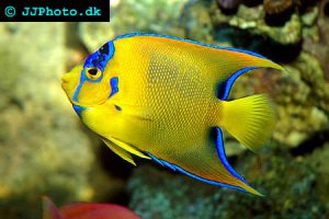 queen-angel-fish-holacanthus_ciliaris_7