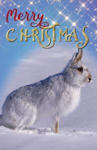 xmas-snowshoe-hare-cover