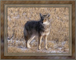 coyote-4-nov-framed