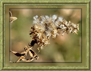 seeds-aster
