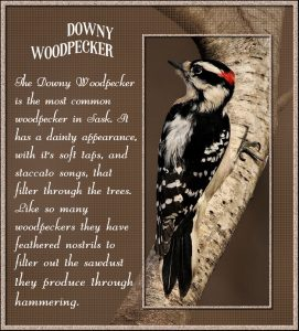 downy-woodpeckera