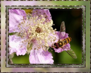 hover-fly-on-blackerry-blossom-framed