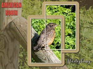 robin-fledged