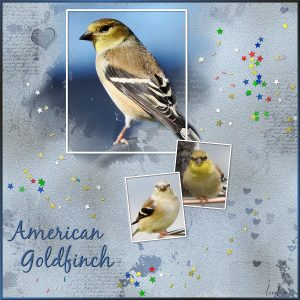 day-1-american-goldfinch