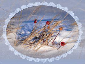 rosehips-snow
