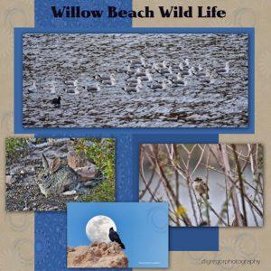 willow-beach-wild-life-600x600