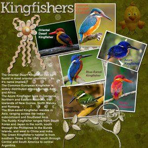 kingfishers-resized
