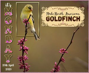 wise-words-day-1-goldfinch-monday