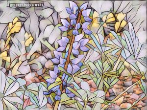 desert-lupine-blue-purple-flowers-pic-to-painting