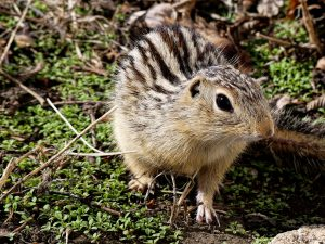 ground-squirrel-10-may-8compressed