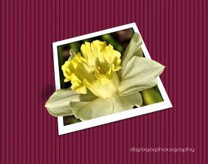 daffodil-600x400