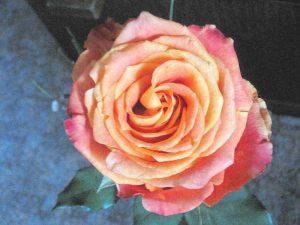 rose_800