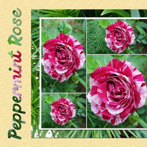2020-6-4-peppermint-rose-600