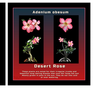 page-13-reduced-desert-rose-2