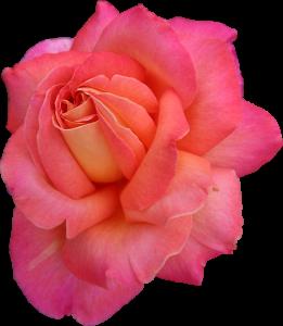 blush-rose-sgh-2020