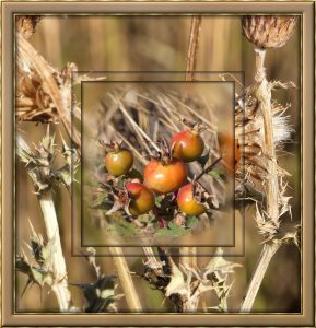 frame-autumn-colours-rosehips-and-thistles
