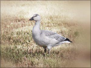 goose-snow-morph-juvenile-14-sept